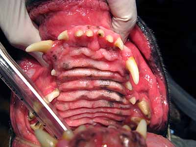 warts on tongue. of dog warts with palpable