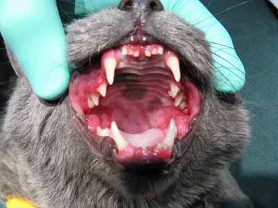 Feline stomatitis, LPGS, periodontal disease, cat, veterinary dentistry