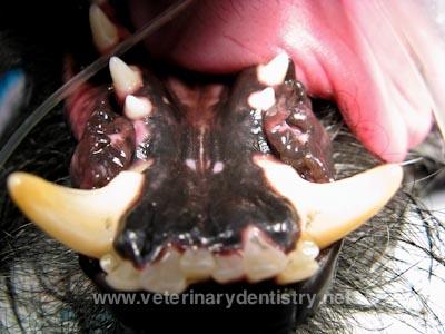 Severe Class III Malocclusion in a Dog - Underbite