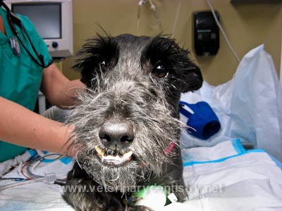 Severe Class III Malocclusion in a Dog - Underbite