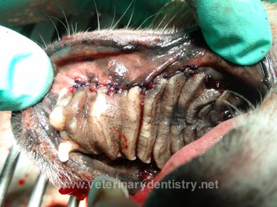 Postoperative view following removal of a maxillary cyst in a dog in Orlando