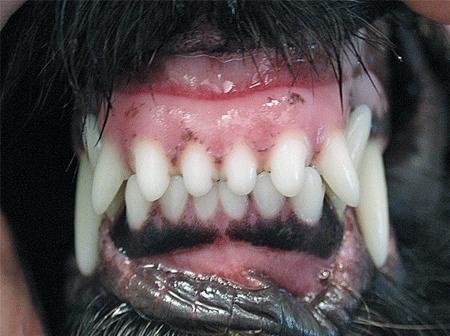 Malocclusions in dog: Normal occlusion of the incisors in a dog