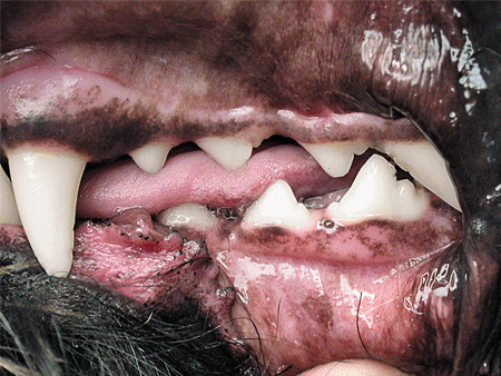 Malocclusions in dog: Normal occlusion of the premolars in a dog