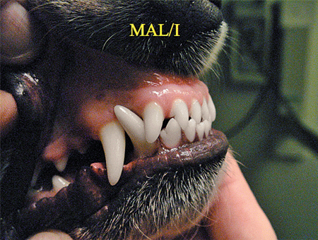 Class  Malocclusion Dog