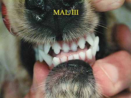 Class 3 malocclusion in dog