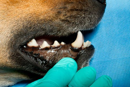 Middle mental nerve block in dogs