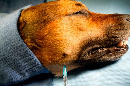 Dental nerve blocks in dog:  Caudal extent of the indentation