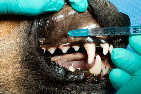 Dental nerve blocks in dog: Maxillary Bone Ventral