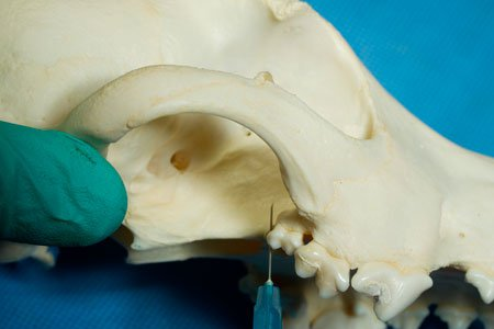 Dental nerve blocks in dog: needle placement caudal to the maxillary second molar.