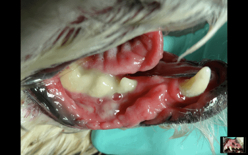 Image of Lip fold dermatitis (inflammation that reaches the skin of the dog's lip folds)